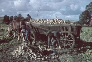 Sockerbetor med hästlass